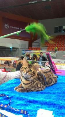 Mezinárodní výstava koček_7